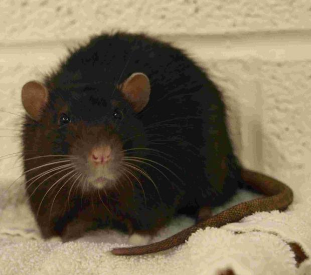 Rats plans thrown out by Sutton Councillors