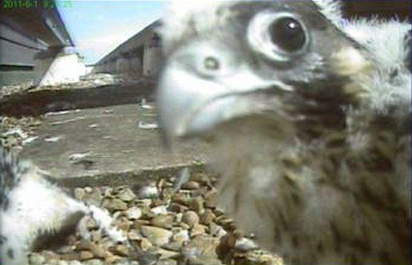 Sutton Guardian: SUTT: Peregrine TV returns