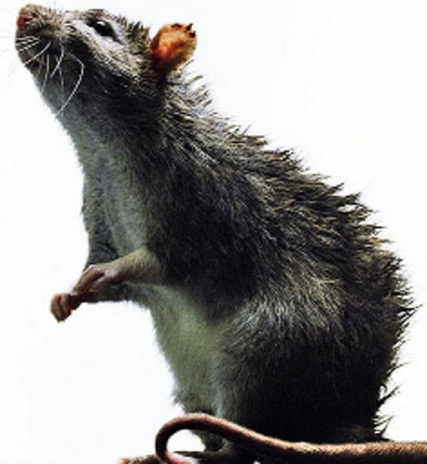 Rats: Sutton Council set to cut free pest control service