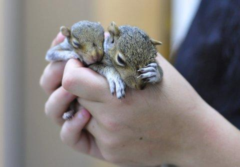 Baby squirrels were rescued by Riverside Animal Centre
