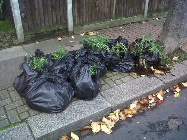 Street cleaners discover bags full of cannabis plants