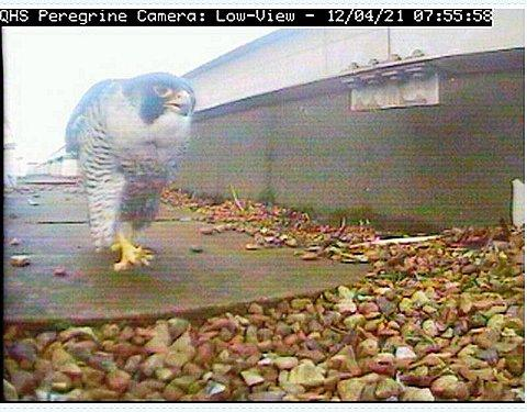 Peregrine falcons Perry and Gwen return to Quadrant House in Sutton