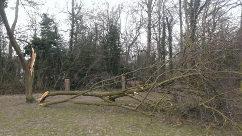 High winds bring down trees in Cheam Park