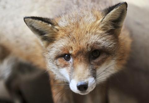 A fox treated at the Riverside Animal Rescue Centre in Beddington Park.