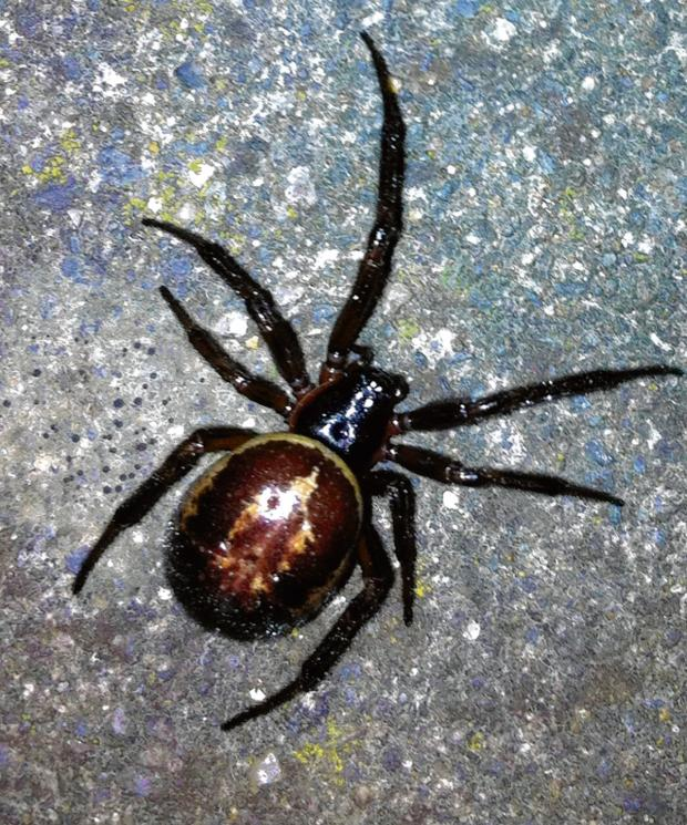 Sutton Guardian: The false widow spider