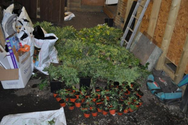 Cannabis plants found at Lower Pillory Down
