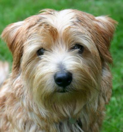 A Norfolk terrier (not the dog the thieves tried to steal)