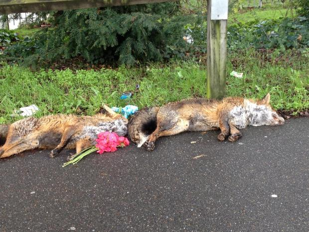 Sutton High School pupil Helen Stephens spotted the foxes in North Cheam