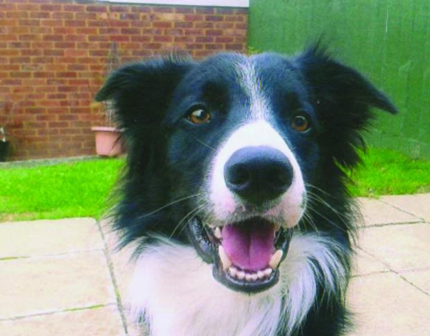 A collie similar to Colin