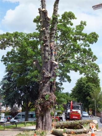 In pieces: People in Western Road are distraught the tree is being destroyed