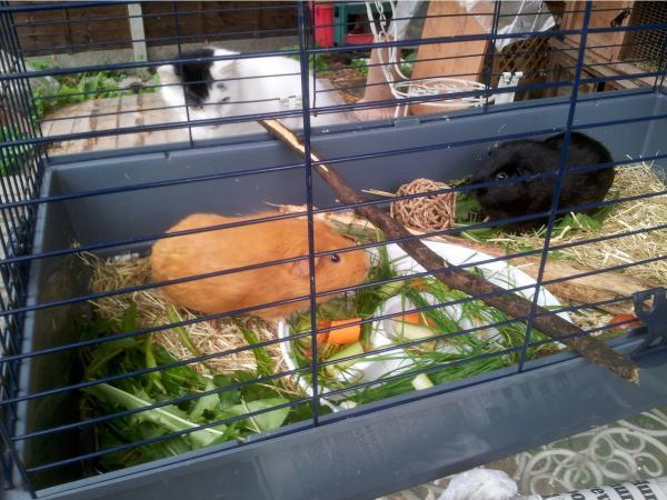 The stolen guinea pigs with the stolen cat in the background